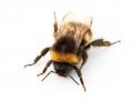 bumblebee-800x600-jpg