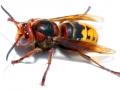 close-up-of-a-live-european-hornet-vespa-crabro-800x600-jpg