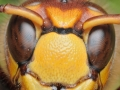 face-of-the-european-hornet-vespa-crabro-800x1100-jpg