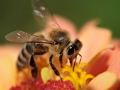 honey-bee-collects-flower-nectar-800x600-jpg
