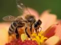 honey-bee-collects-flower-nectar-800x600-jpg
