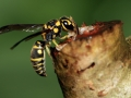 paper-wasp-feeding-on-sap-of-a-plant-800x533-jpg