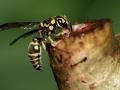 paper-wasp-feeding-on-sap-of-a-plant-800x533-jpg