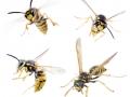 wasps-800x634-jpg