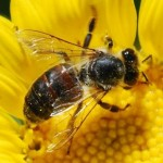 dark_honey_bee_hemberger