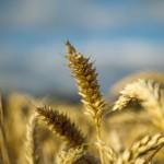 Αλλεργία στα σιτηρά και κοιλιοκάκη: ποια η διαφορά;